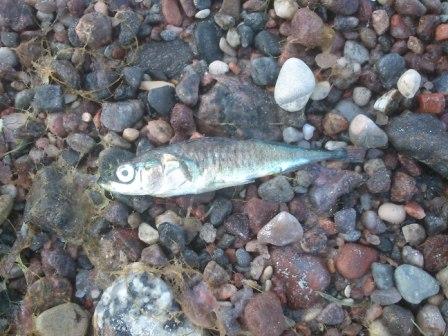 liten fisk